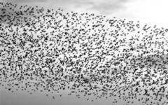 Net een zwerm vogels